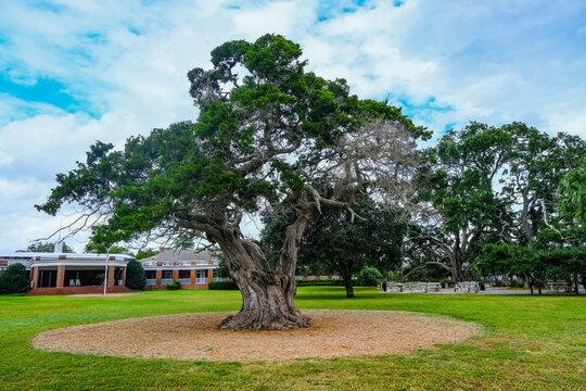 Old Oak Tree in Park by Public Pavilion