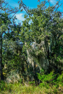 Spanish Moss in Wetland March