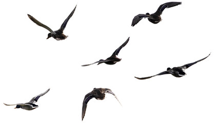 A flock of wild ducks flying on a white background. Wall mural