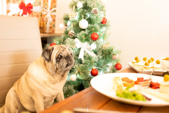 portrait of one cute pug dog celebrating christmas day eating at the table