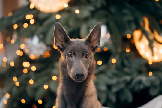 dog in winter in a decorated city. Belgian Shepherd Dog, puppy Milinois outside