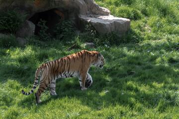 Tygrys bengalski spacerujący po trawie