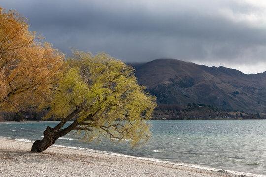 Willow trees on lake shore, Wananka, New Zealand