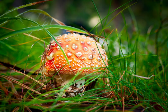 Amanita fly agaric mushroom in forest grass