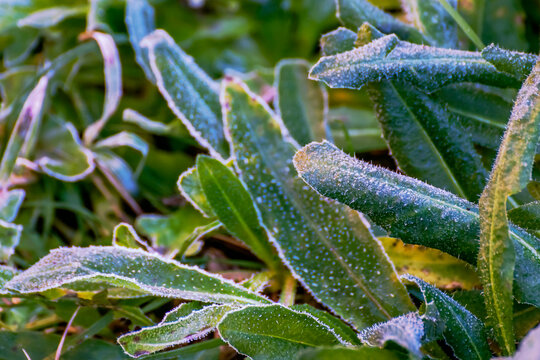 Detail of spontaneous vegetation covered with ice crystals after a winter night frost