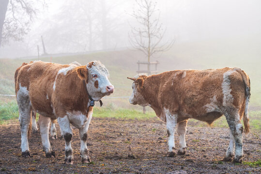 young bulls in the field on a misty morning in Uster, Switzerland