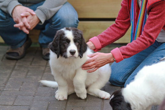 Woman sitting next to Landseer dogs puppies