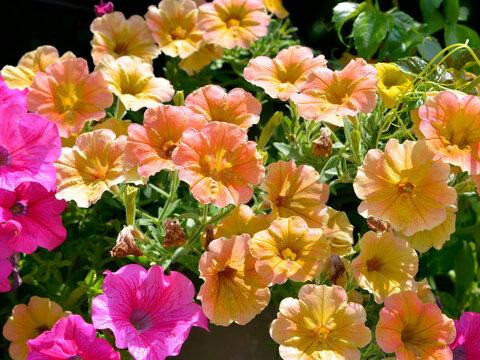 Background of blooming yellow and red petunia surfinia flowers