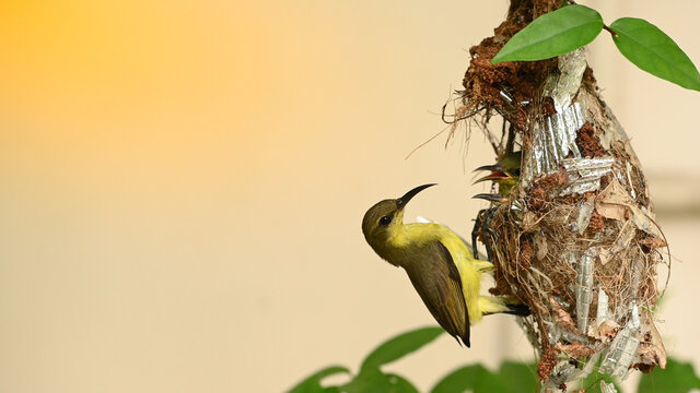 Sunbird and baby bird in a nest at Thailand. Olive-backed sunbird, Yellow-bellied sunbird, Cinnyris jugularis