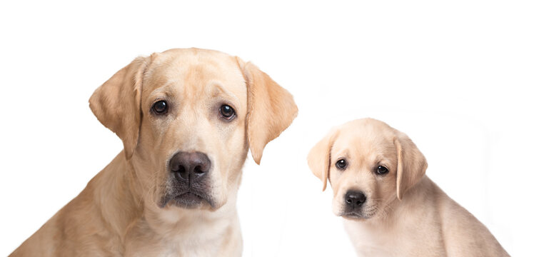 Labrador puppy and his parent isolated on white background