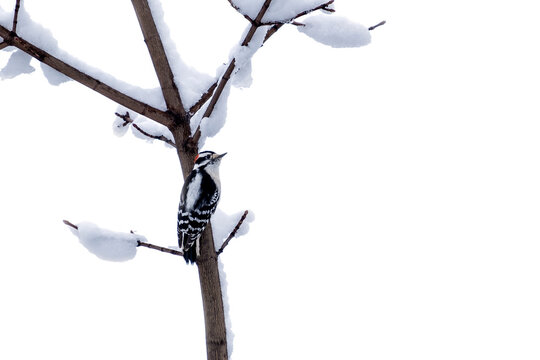 Male Downy Woodpecker Perched on the Bare Tree Branch Covered with Snow on White Background