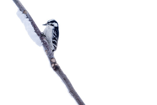 Female Downy Woodpecker Perched on a Bare Branch Covered with Snow on White Background