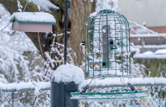 Black-capped Chickadee at the Black Oil Sunflower Seed Feeder in a Backyard on a Snowy Day