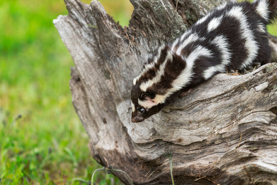 Eastern Spotted Skunk (Spilogale putorius) Looks Down Side of Log Summer