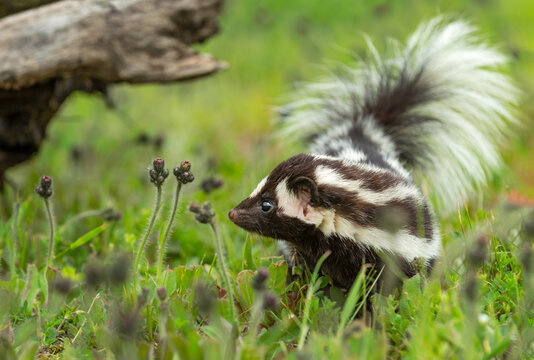 Eastern Spotted Skunk (Spilogale putorius) Looks Left in Grass Summer