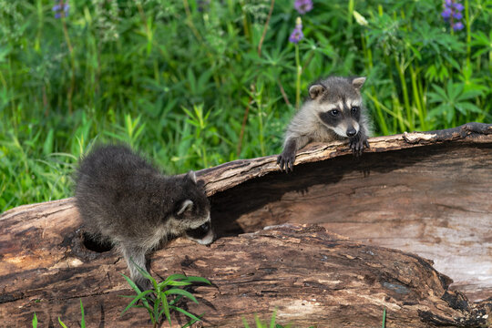 Raccoons (Procyon lotor) Climb About on Log With Lupine Behind Summer