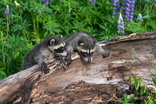 Raccoons (Procyon lotor) Lean Out Over Side of Log With Lupine Behind Summer