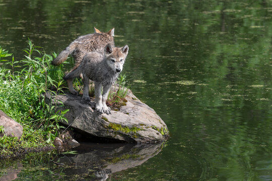 Grey Wolf (Canis lupus) Pups Stand Back to Back on Island Rock Summer