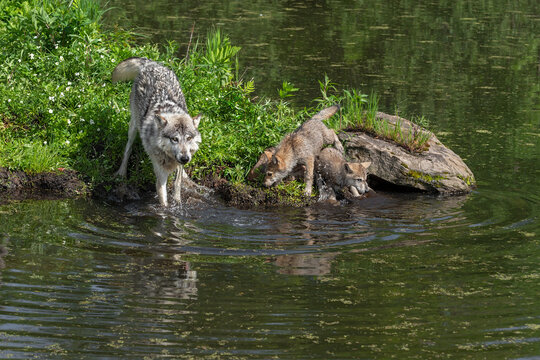 Grey Wolf (Canis lupus) and Pups Splash in Water on Island Summer