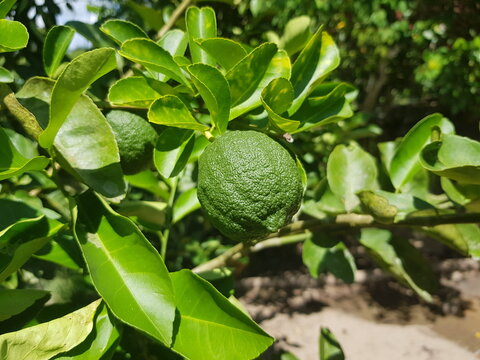 A true lime is a citrus fruit, which is typically round, green in color, 3–6 centimeters (1.2–2.4 in) in diameter, and contains acidic juice vesicles. For sale in supermarket in manaus, Amazon - Brazi