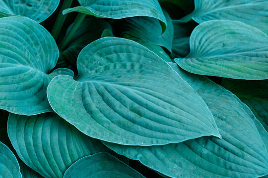 Hosta plant in the garden. Large green leaves hosta.Closeup green leaves background