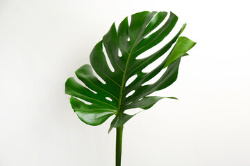 Beautiful monstera leaf on white background. Tropical plant