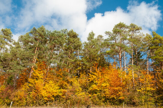 evergreen pine trees and colorful deciduous trees