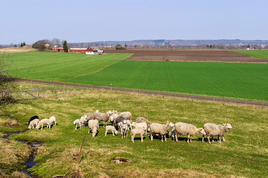 Herd of sheep in a beautiful rural landscape view