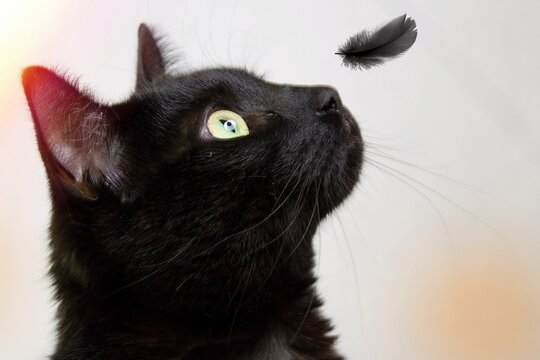 A black cat looks at a falling black feather.Closeup of a black cat`s head. the feather falls on his snout.