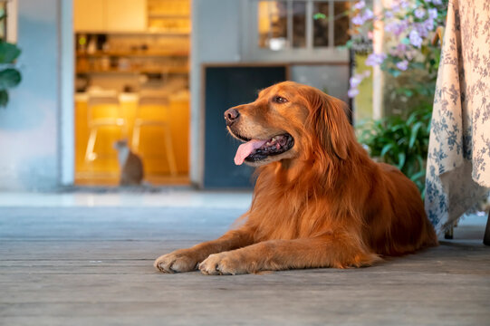 Golden Retriever lying on the floor and smiling