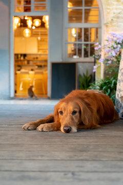 Golden Retriever lying on the floor