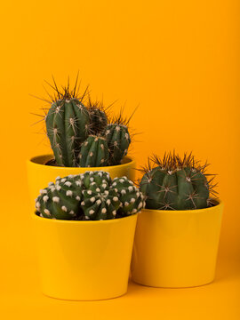 three cactus plants in yellow flower pots on yellow background