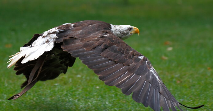 Flying eagle in a zoo