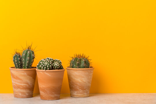 Three potted cactus plants on a shelf with copy space on vibrant yellow background