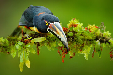 Wall Mural - Collared Aracari, Small toucan Pteroglossus torquatus, bird with big bill. Toucan sitting on the branch in the forest, Boca Tapada, Costa Rica. Nature travel in central America.