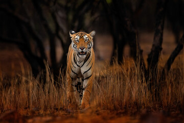 Fototapeta Indian tiger, wild animal in the nature habitat, Ranthambore NP, India. Big cat, endangered animal. End of dry season, beginning monsoon. Tiger from Asia.