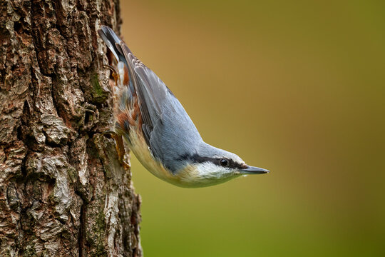 Nuthatch in the nature habitat. Eurasian Nuthatch, Sitta europaea, beautiful yellow and blue-grey songbird sitting on the tree trunk, bird in the nature forest, wildlife Poland.