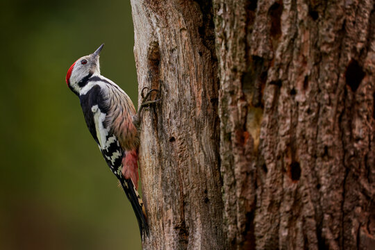 Middle Spotted Woodpecker, Dendrocoptes medius, black and white bird with red cap sitting on the tree trunk in the forest, Bialowieza NP, Poland in Europe. Woodpecker in the nature habitat.
