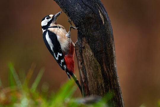 Great Spotted Woodpecker, detail close-up portrait of birds head with red cap. Black and white animal in the forest habitat with clear green background, France.