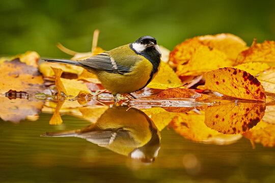 Autumn wildlife. Great Tit, Parus major, black and yellow songbird sitting on the orange yellow autumn tree leaves with beautiful morning light. Autumn nature.