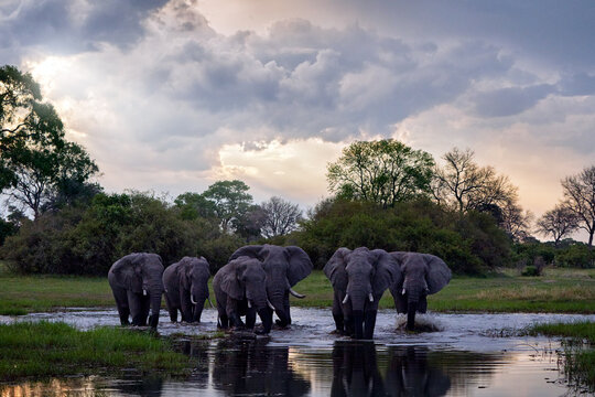 Khwai river with elephant herd.  Wildlife scene from nature. A herd of African elephants drinking at a waterhole lifting their trunks, Okavango delta, Moremi, Botswana, Africa.