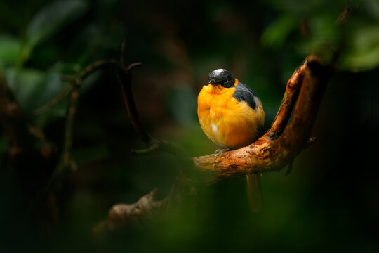 Snowy-crowned robin-chat, Cossypha niveicapilla, orange bird with white cap in the nature forest habitat. Robin sitting on the branch in the green vegation, Angola and Cameroon in Africa.