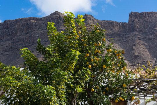 Lemons on the tree with blue sky.