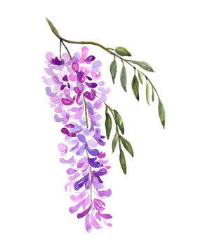 Watercolor illustration. Drawing of blooming wisteria. A sprig of lilac wisteria and leaves.