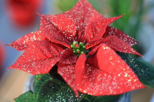 Beautiful Christmas flower with glitter
