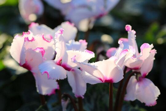 Bicoloured cyclamen in sunny November