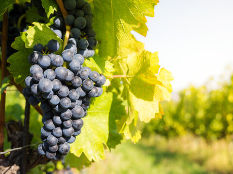 red grapes at a vineyard in Burgenland