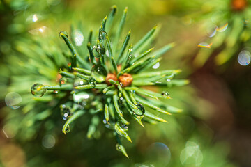 Fototapeta The sun is reflected in the water droplets on top of this mini fir obraz