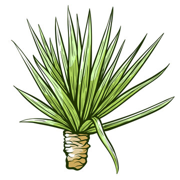 Tequila or blue agave hand drawn sketch. Mexican plant. Ingredient for alcoholic beverages, drinks.