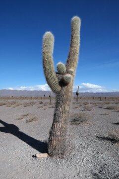 Giant cactus in North Argentina